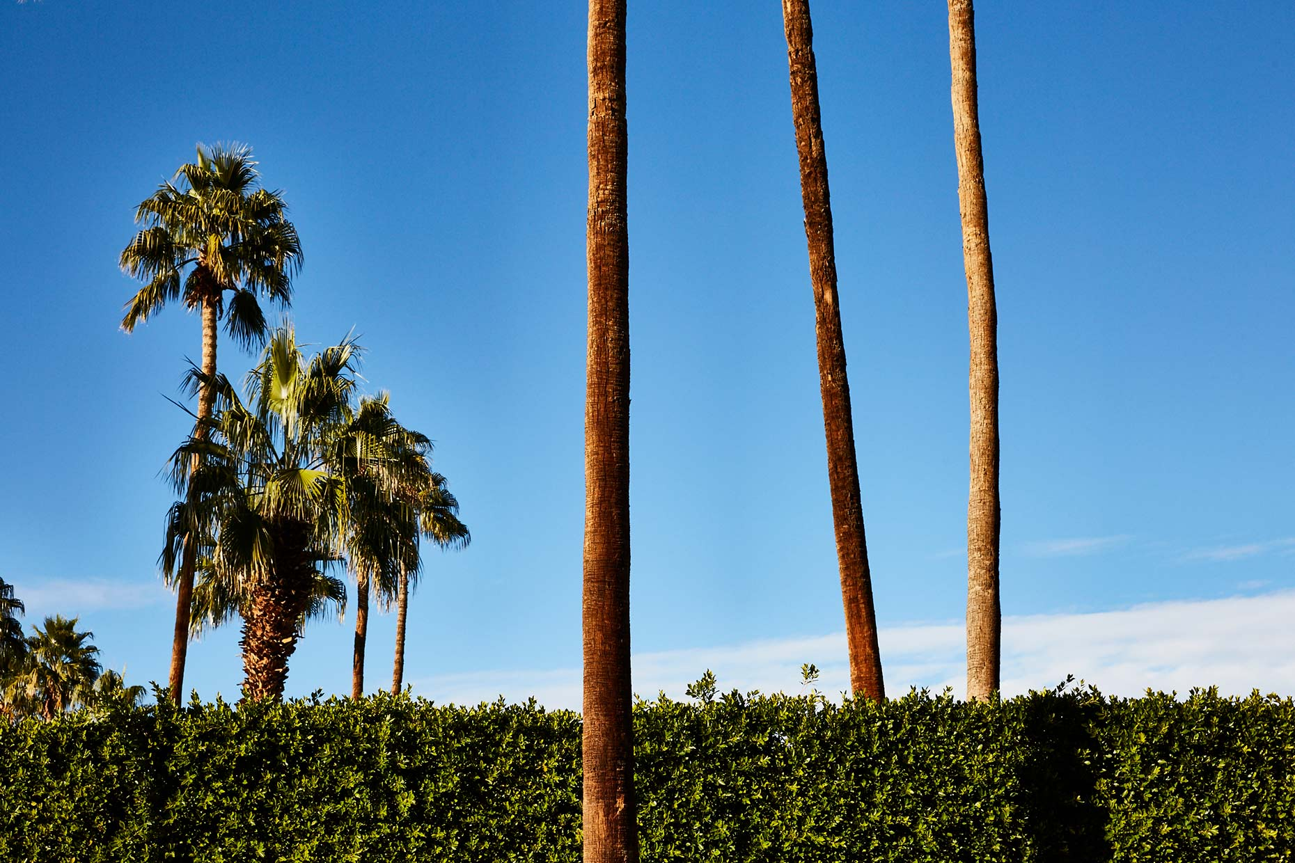 Palm-Springs_Palm-Trees_011