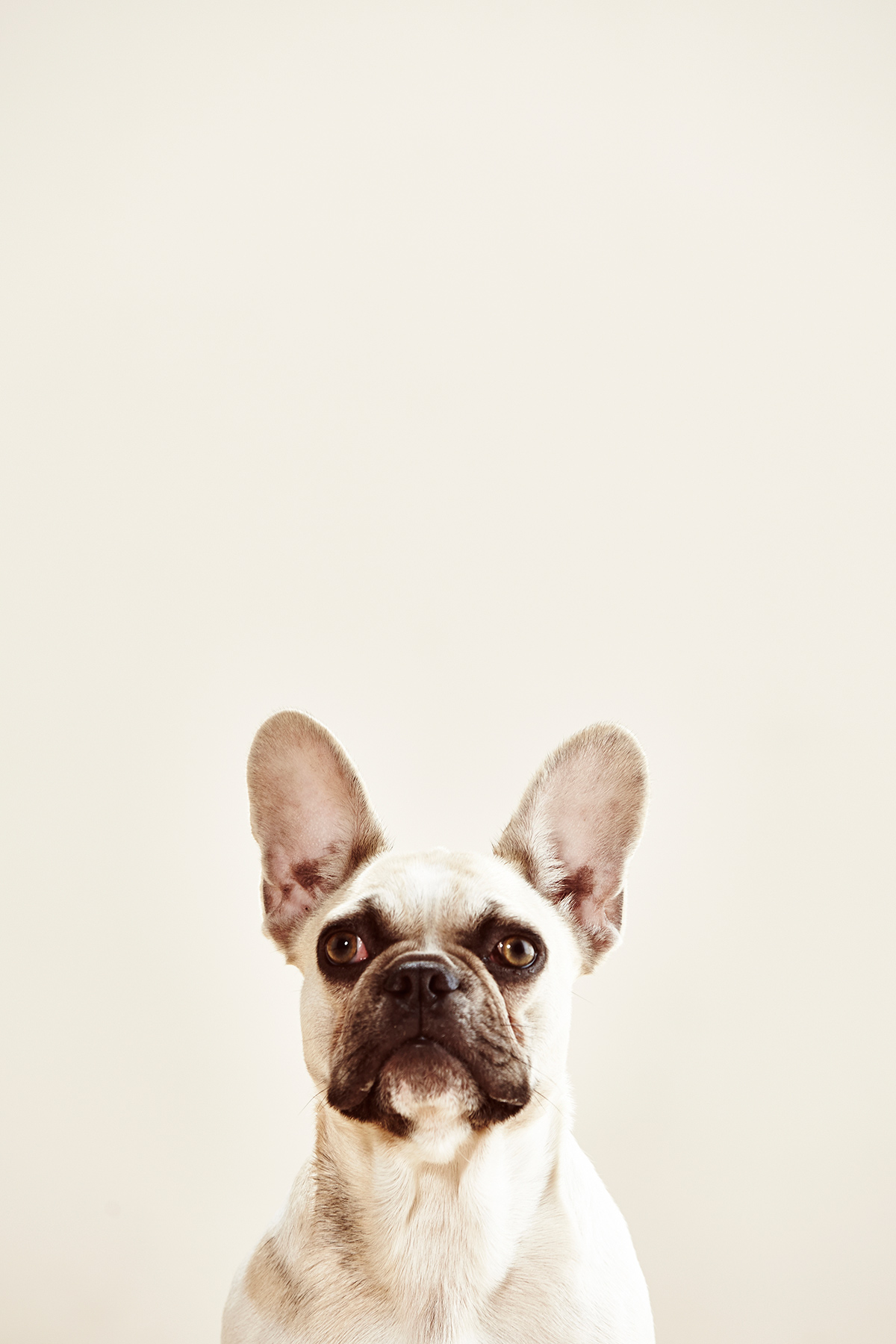 Viva_French-Bulldog_039